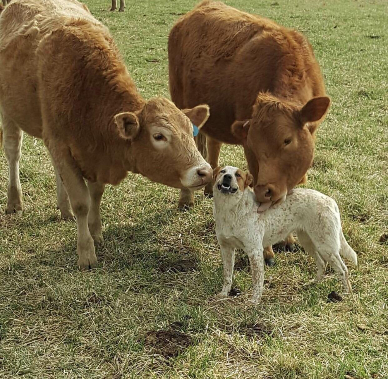 Cow lick pictures